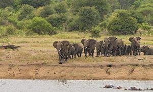 perbedaan antara gajah afrika, gajah asia, dan gajah sumatera
