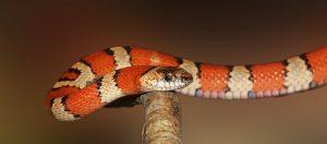 pertolongan pertama untuk mengatasi gigitan ular berbisa