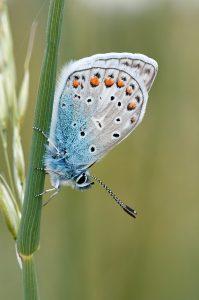 bagaimana warna sayap kupu-kupu terbentuk?