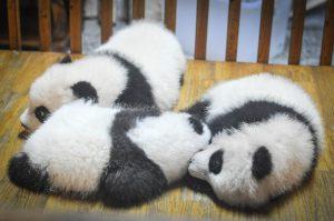 ternyata induk panda itu pilih kasih, lho!