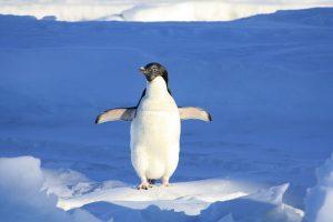 fakta hewan : mengapa penguin tidak bisa terbang?
