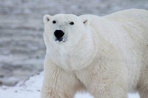 fakta hewan : alasan hewan kutub mampu bertahan hidup