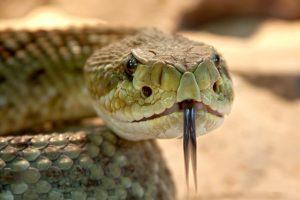 fungsi lidah ular yang bercabang dua