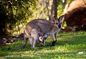 fakta hewan : asal-usul nama kangguru