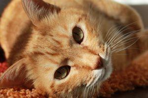 fakta hewan : fungsi kumis pada kucing