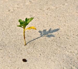 cara sederhana agar pohon cangkokan cepat tumbuh tanpa perangsang akar