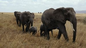 fakta hewan : mengapa gajah takut kepada semut?