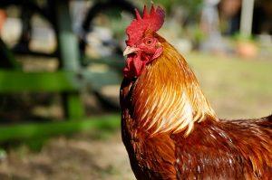 fakta hewan : mengapa ayam jantan berkokok di pagi hari?
