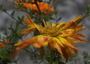 arti peribahasa bunga yang layu di balik kembang
