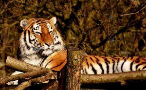 arti peribahasa bagai harimau beranak muda