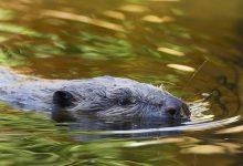 Arti Idiom Eager Beaver