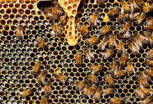 Fakta Lebah Madu