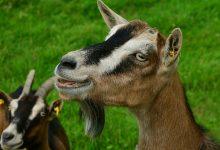 goat-2664466_640