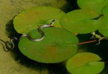 grass-snake-2727199_640
