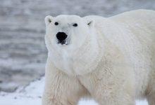 polar-bear-404314_640 (1)