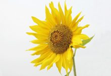 sun-flower-2713118_640